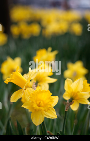 Yellow daffodills in spring - Stock Photo