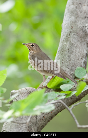 Swainson's Thrush perching in Beech Tree - Vertical - Stock Photo