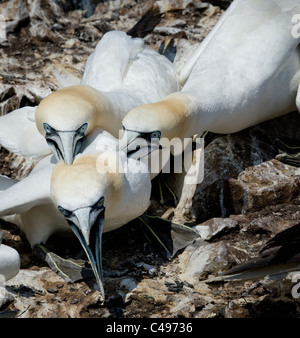 Aggression between Gannets on a crowded bird colony - Stock Photo