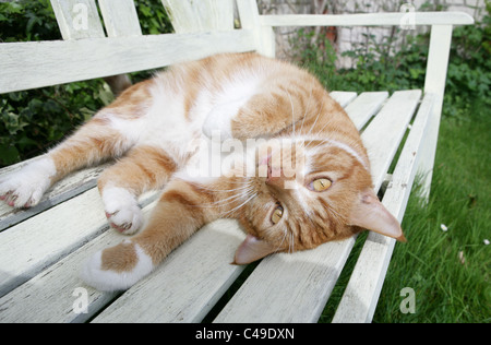 Domestic Cat Single adult resting on a bench UK - Stock Photo
