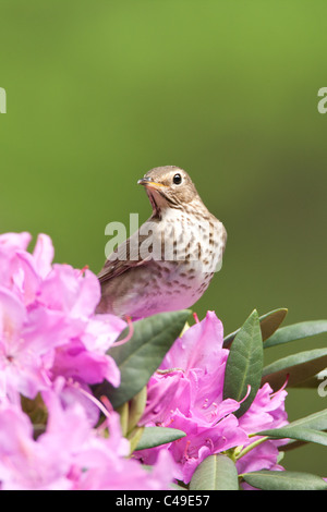 Swainson's Thrush perching in Rhododendron Blossoms - Vertical - Stock Photo