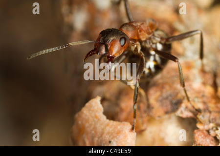 Formica aquilonia wood ant threatening the camera lens - Stock Photo