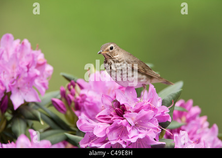 Swainson's Thrush perching in Rhododendron Blossoms - Stock Photo