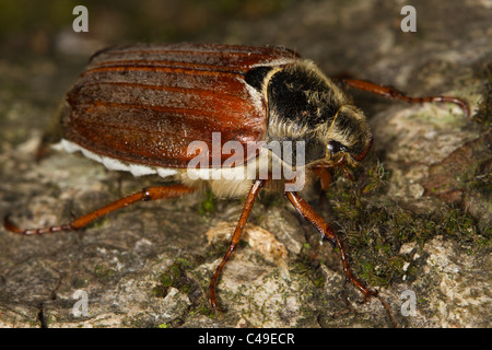 female Common Cockchafer (Melolontha melolontha) on a tree trunk
