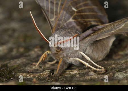 Poplar Hawkmoth (Laothoe populi) resting on a tree branch - Stock Photo