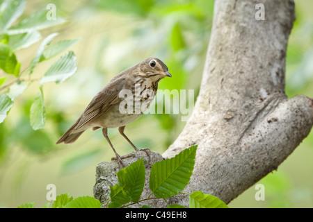 Swainson's Thrush perching in Beech Tree - Stock Photo