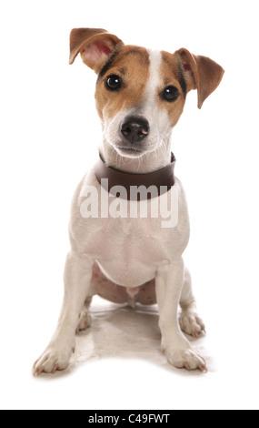 Jack Russell Terrier Single puppy sitting in studio UK - Stock Photo