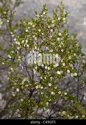 how to grow creosote bush
