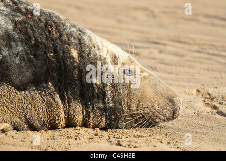 Atlantic grey bull seal Halichoerus grypus on beach Donna Nook Nature Reserve Lincolnshire, Uk - Stock Photo
