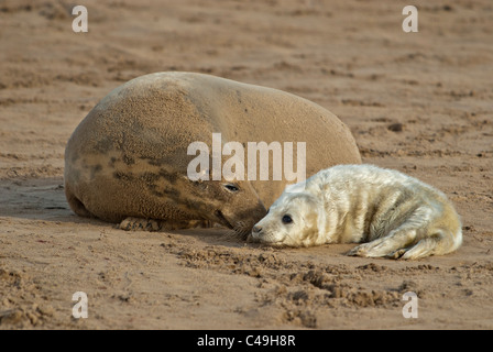 Atlantic grey seal pup and mother Halichoerus grypus on beach Donna Nook Nature Reserve Lincolnshire, Uk - Stock Photo