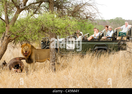 Lion with a buffalo carcass watched by tourists on a game drive at &Beyond Ngala lodge in the Kruger Park area of - Stock Photo