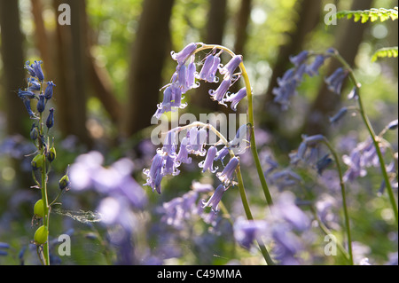 Back lit bluebells under beech woodland in sunshine, spring rays of sunshine break through wood - Stock Photo