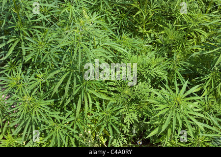 Annual Ragweed, Common Ragweed (Ambrosia artemisiifolia). Young plants. - Stock Photo