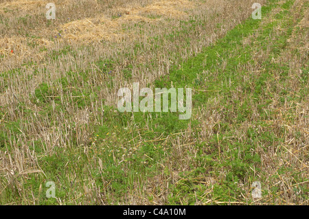 Annual Ragweed, Common Ragweed (Ambrosia artemisiifolia). Young plants on a harvested cornfield. - Stock Photo
