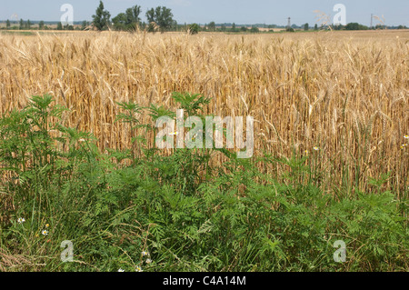 Annual Ragweed, Common Ragweed (Ambrosia artemisiifolia). Young plants on the edge of a cornfield. - Stock Photo