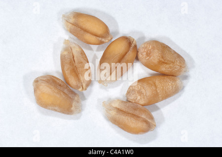 Common Wheat, Bread Wheat (Triticum aestivum), seeds. Studio picture against a white background. - Stock Photo