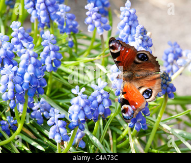 Peacock butterfly Nymphalis io on muscari grape hyacinth flowers. - Stock Photo
