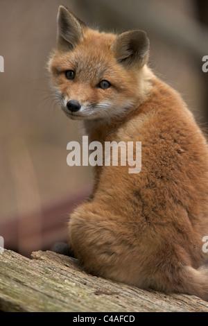 Red Fox Pups (Vulpes vulpes) – Formerly Vulpes fulva - New York - USA - - Stock Photo