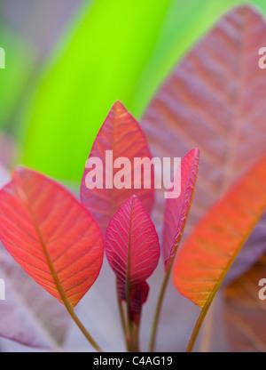 Cotinus grace leaves. Smoke bush leaves - Stock Photo