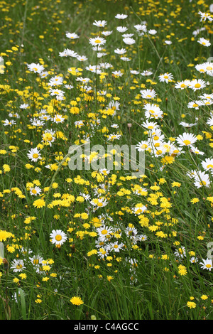 Close up of wild flowers flowering in a meadow - Stock Photo