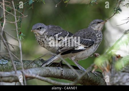 Two Northern Mockingbird fledglings, Dumetella carolinensis, waiting for their mother. Passaic, New Jersey, USA - Stock Photo