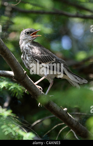 A Northern Mockingbird fledgling, Dumetella carolinensis, perched in a tree calling for its mother. Passaic, New - Stock Photo