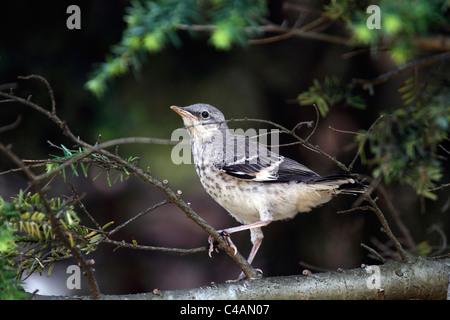 A Northern Mockingbird fledgling, Dumetella carolinensis, perched in a tree. Passaic, New Jersey, USA - Stock Photo