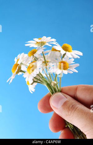 chamomiles in the man's hand on blue sky background - Stock Photo