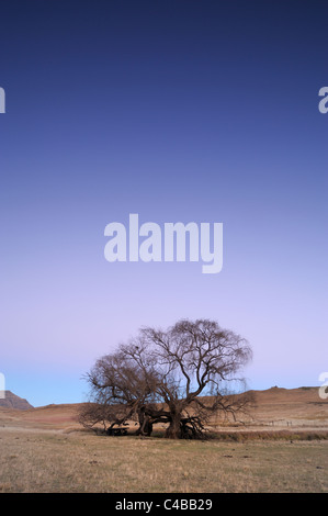 Winter deadened willow tree at twilight with mountain in background, Barkly East, Eastern Cape, South Africa - Stock Photo