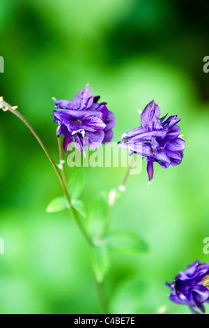 Aquilegia vulgaris - Stock Photo