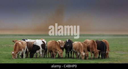 Cattle grazing with ash fall from Grimsvotn Volcanic Eruption in the Vatnajokull Glacier, Iceland - Stock Photo