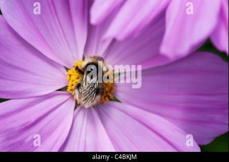 Bumble bee feeding on cosmos flower in an English garden - Stock Photo