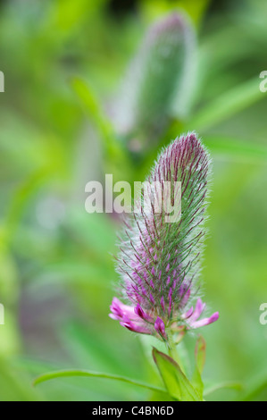 Trifolium rubens. Nobel clover. Ornamental red clover plant before the flowers emerge - Stock Photo