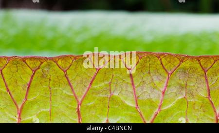 Victoria cruziana leaves. Santa Cruz water lily leaf. Giant water lily foliage - Stock Photo