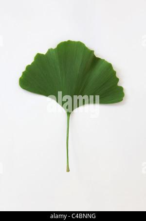 Leaf of Ginkgo biloba - Stock Photo