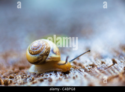 snail crawling on a wooden surface - Stock Photo