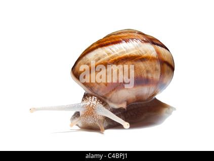 snail on white background - Stock Photo