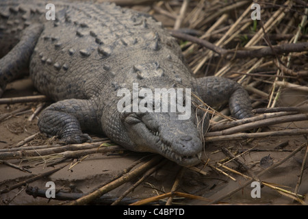 An American Crocodile, Crocodylus Acutus, stands on the bank of the Grijalva River in the Sumidero Canyon, Tuxla, - Stock Photo