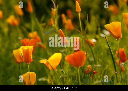 Yellow and orange poppy flowers growing idyllically in a meadow of the botanical garden in Leipzig, Germany. - Stock Photo