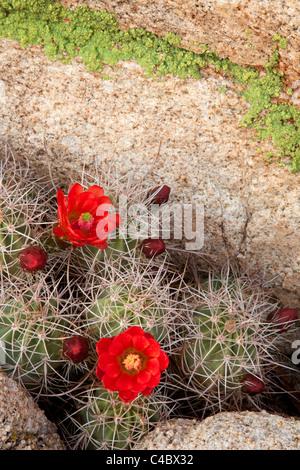 Mojave Mound Cactus (Echinocereus triglochidiatusat) or Claret Cup, Hidden Valley, Joshua Tree National Park, California