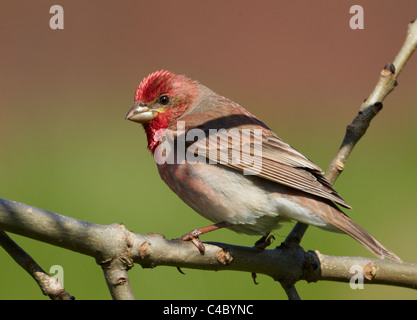 Common Rosefinch (Carpodacus erythrinus), male perched on a twig - Stock Photo