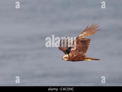 Western Marsh Harrier (Circus aeruginosus). Female in flight - Stock Photo
