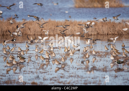 Flock of Eurasian Golden Plover -Pluvialis apricaria- and Northern Lapwing , Green Plover or Peewit -Vanellus vanellus - Stock Photo