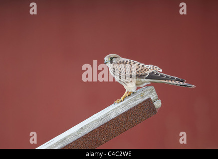 Common Kestrel (Falco tinnunculus). Female standing on a wooden plank. - Stock Photo