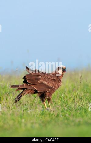 Western Marsh Harrier (Circus aeruginosus) female, Isle of Sheppey, kent, England, June. - Stock Photo