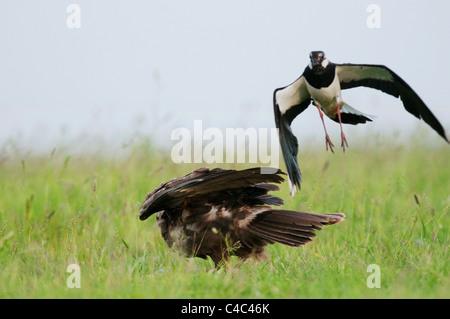 Northern Lapwing (Vanellus vanellus) mobbing a female Western Marsh Harrier (Circus aeruginosus), Kent, England, - Stock Photo