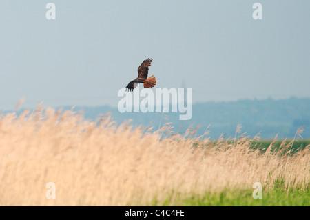Western Marsh Harrier (Circus aeruginosus) female, in flight over reedbed, Isle of Sheppey, kent, England, June. - Stock Photo