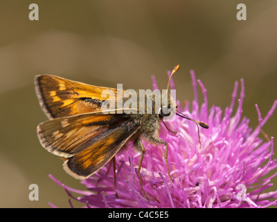 Large skipper, Ochlodes venatus, male eating in a flower with nice out of focus background - Stock Photo