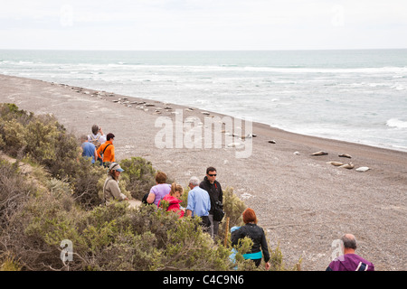 Elephant Seals, Valdes Peninsula, Argentina - Stock Photo