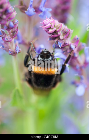 Bombus Lucorum. Bumble bee on a Salvia flower in an english garden - Stock Photo